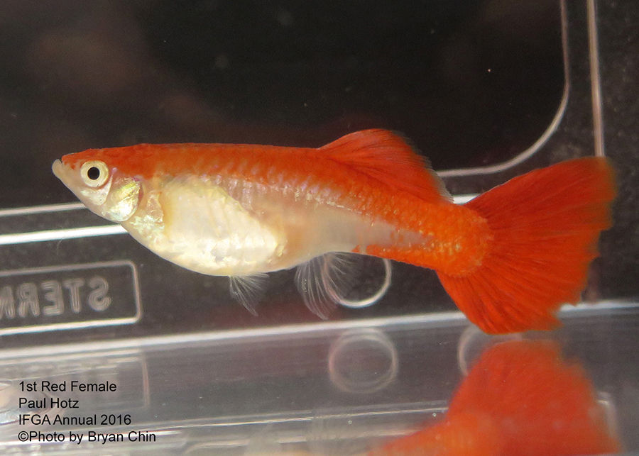 red female guppy