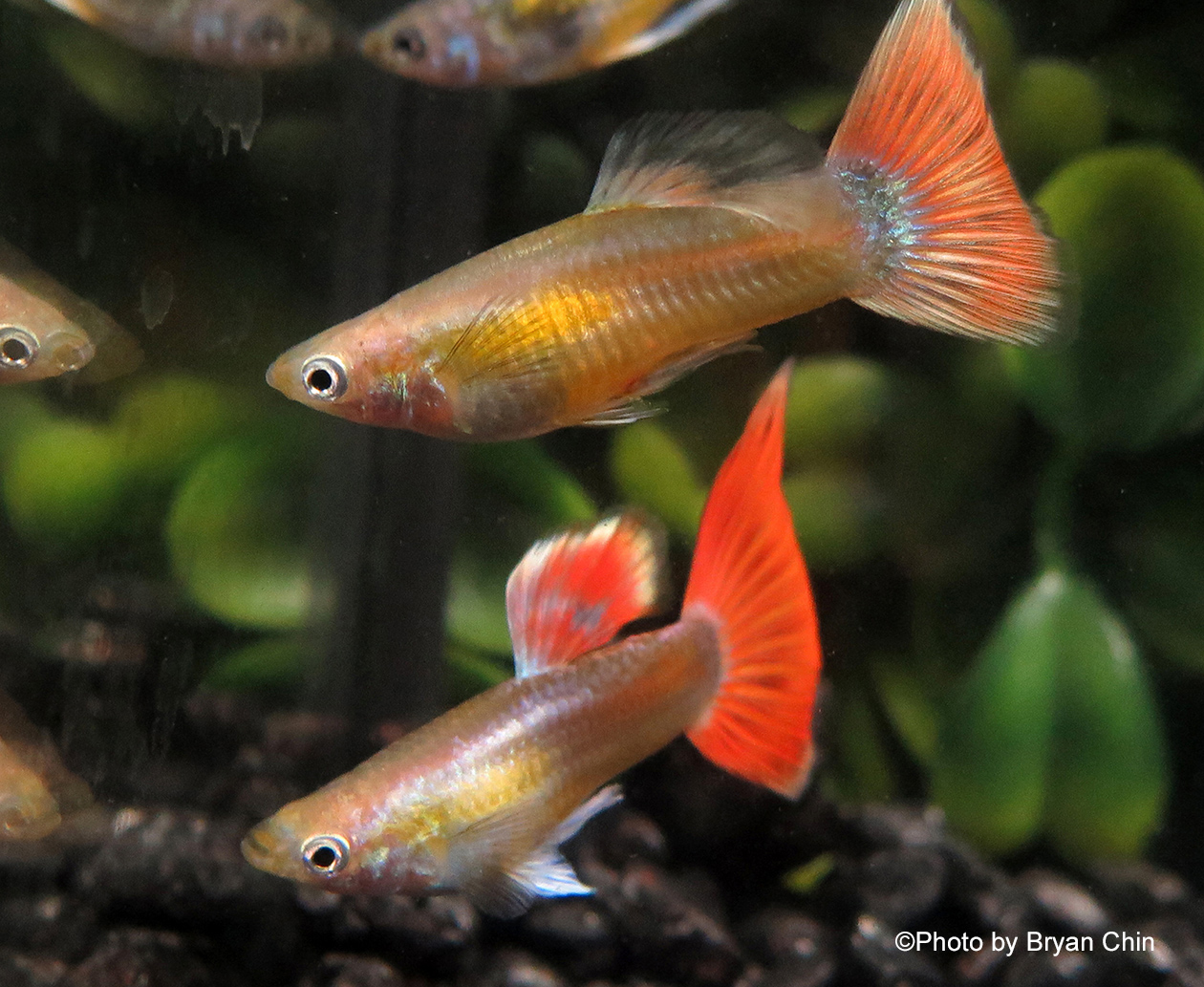 Gold red guppy metal