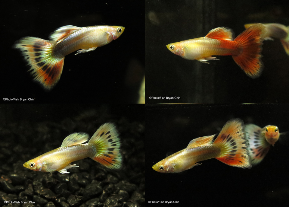 Guppy Gold Multicolor Mbag
