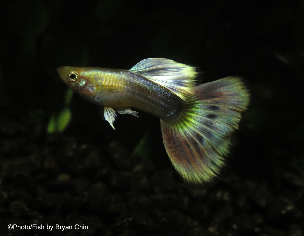 Gold pastel MBAG guppy