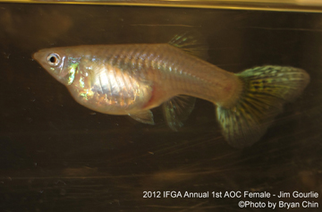 aoc female guppy