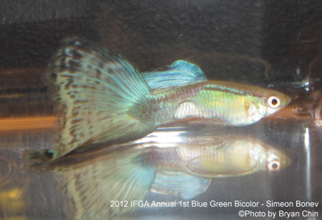 blue green bicolor guppy