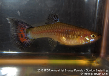 bronze female guppy