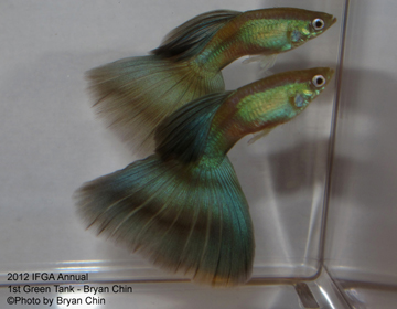 green guppy