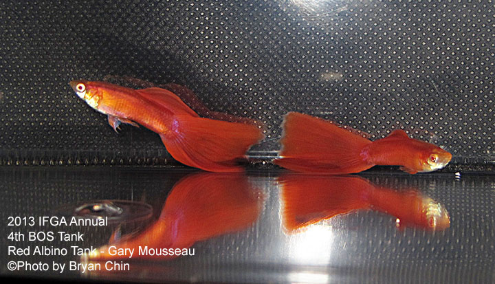 Red Guppy Tank