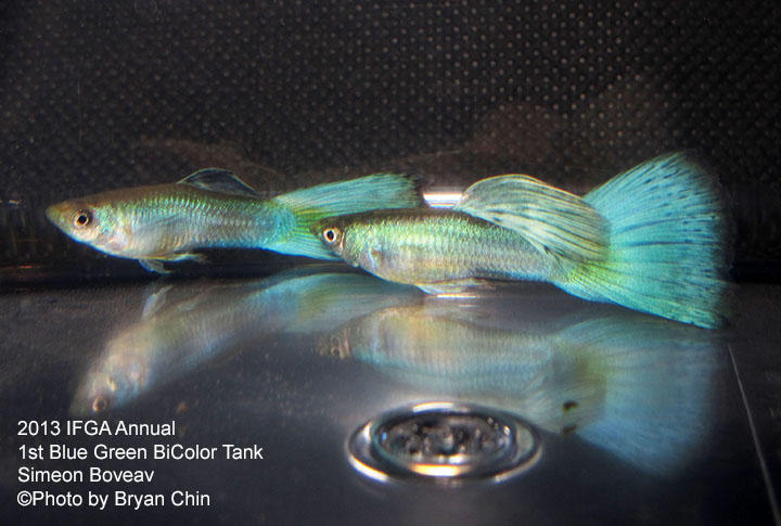 Blue Green Bicolor Guppy Tank