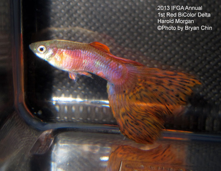 Red Bicolor Guppy