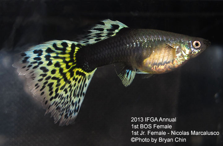 HB AOC Female Guppy