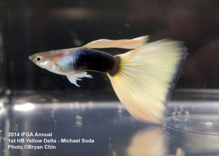 Half Black Yellow Guppy