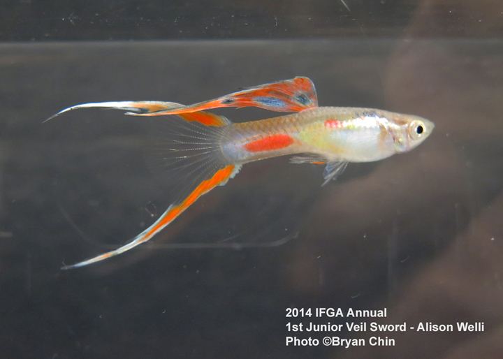 Junior Sword Guppy Entry