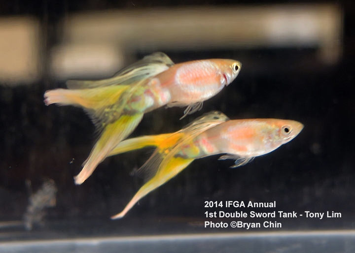 Double Swordtail Guppy Tank