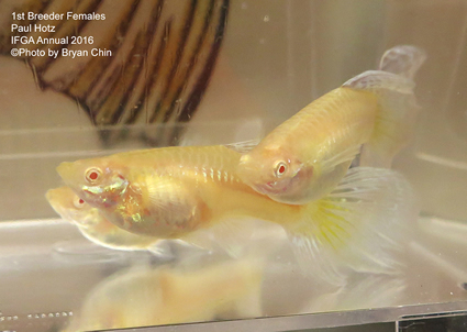 female guppy albino
