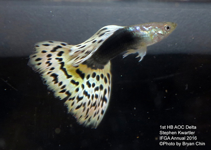 Half black hb aoc guppy