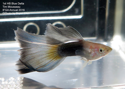 half black blue guppy