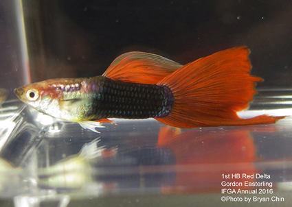 half black red guppy