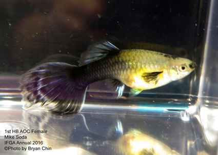 half black female guppy