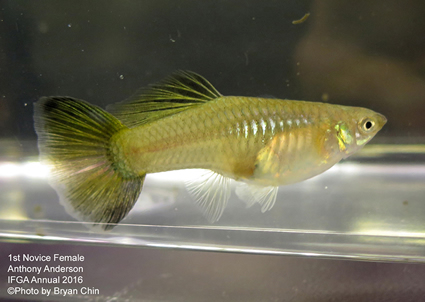 novice female guppy