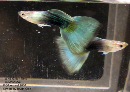 half black green guppy