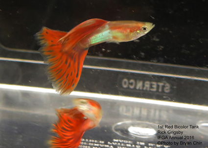 red japan blue bicolor guppy
