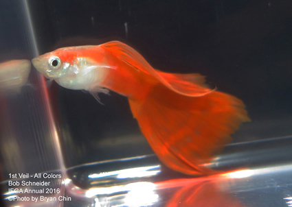 red veil guppy