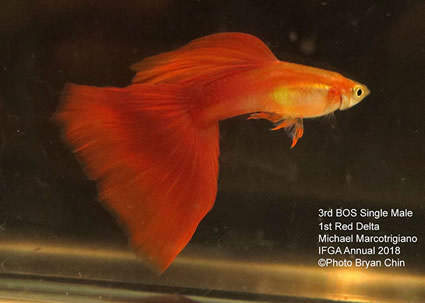 Guppy Red