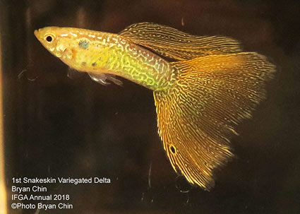guppy, snakeskin, variegated, yellow