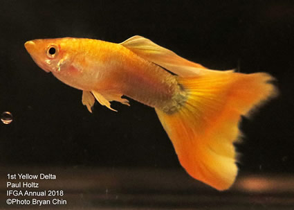 guppy, yellow
