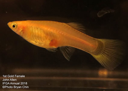 guppy, female, gold, blond