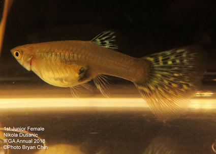 guppy, female, blue, green, bicolor