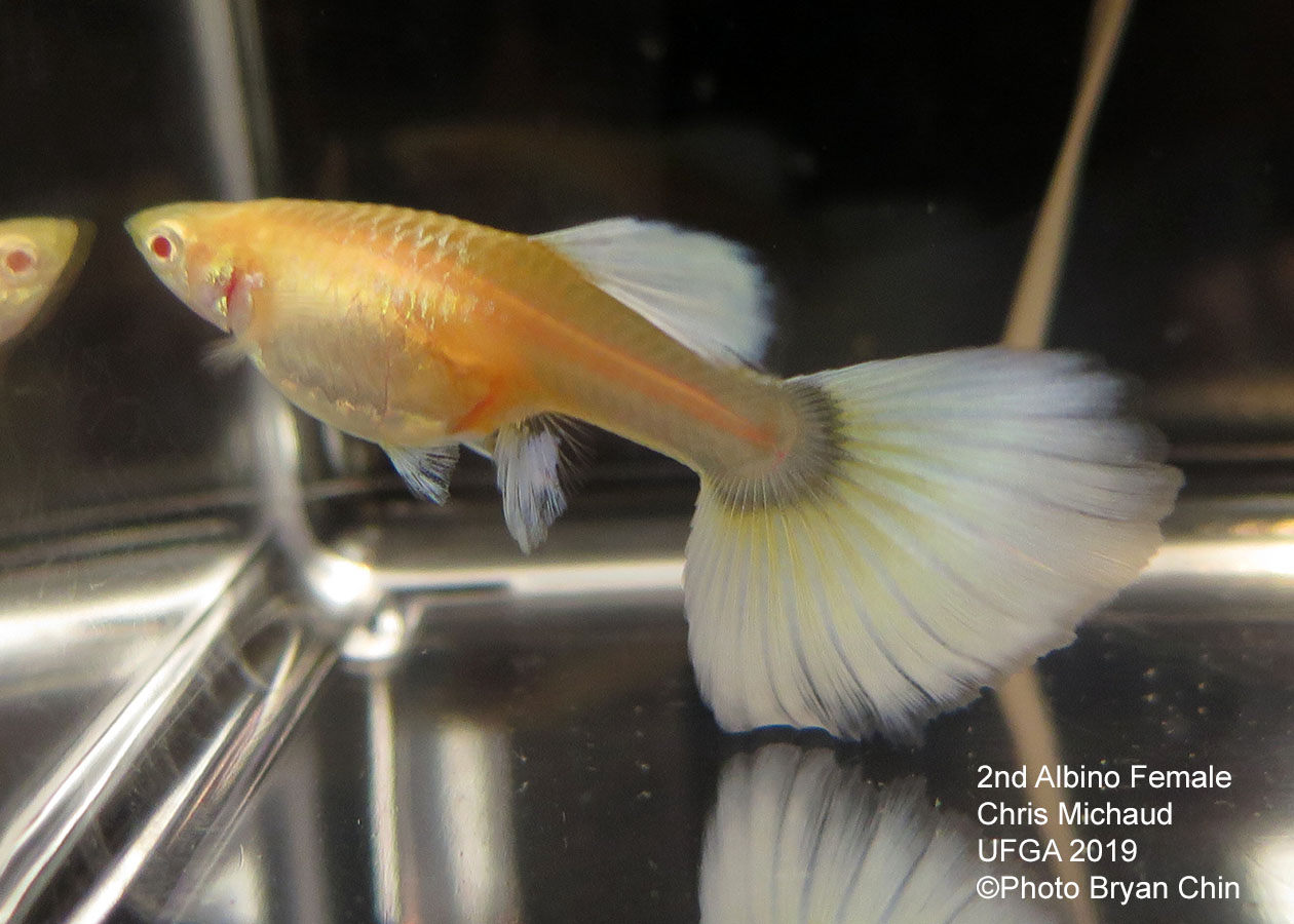 albino female guppy