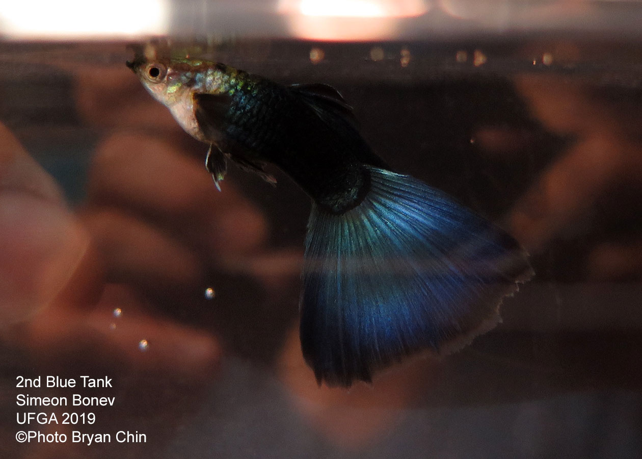 blue guppy
