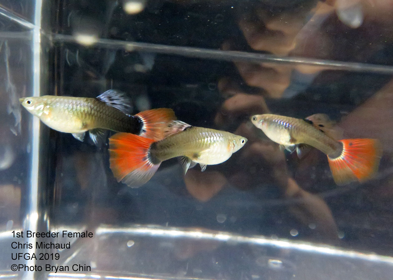 half black red female guppy hb