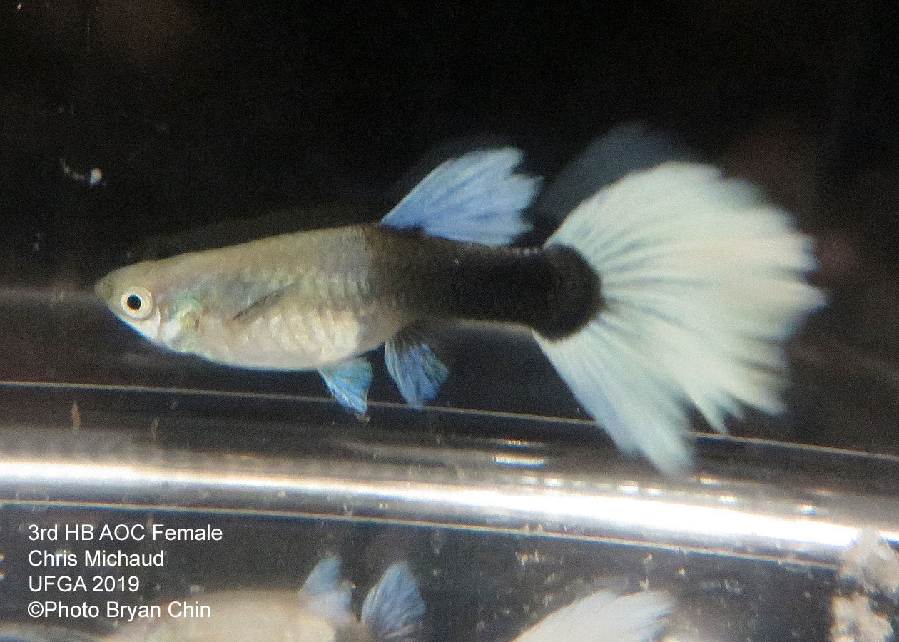 half black pastel female guppy