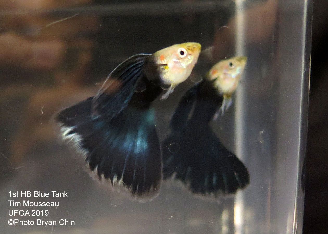 half black blue guppy hb
