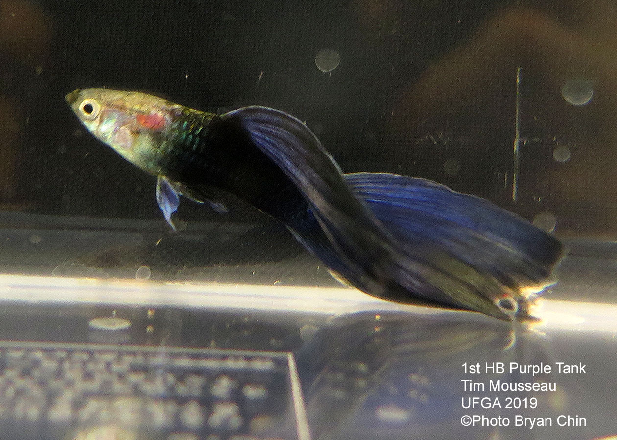 half black purple guppy hb