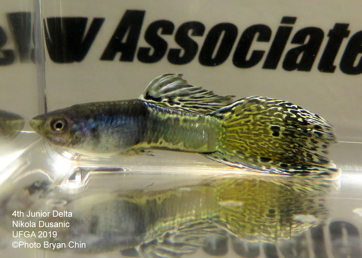 variegated guppy