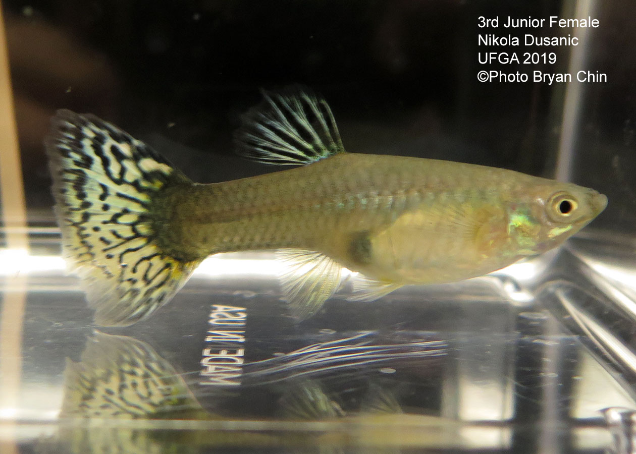 female guppy