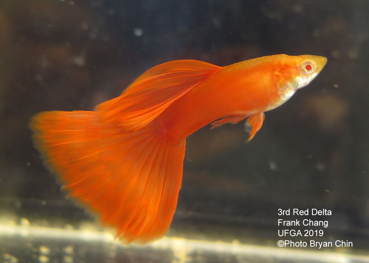 red albino guppy