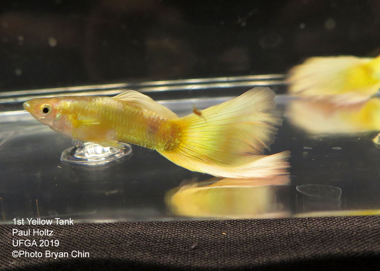 yellow guppy