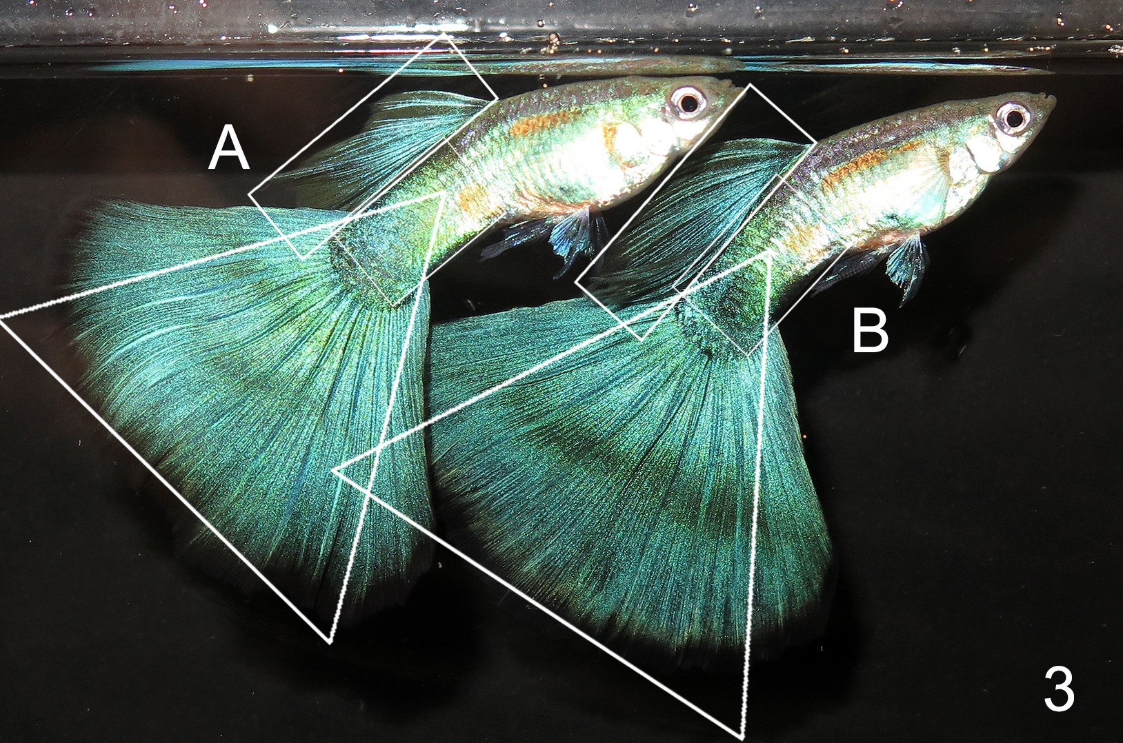 Green Guppy tank entry shape judging