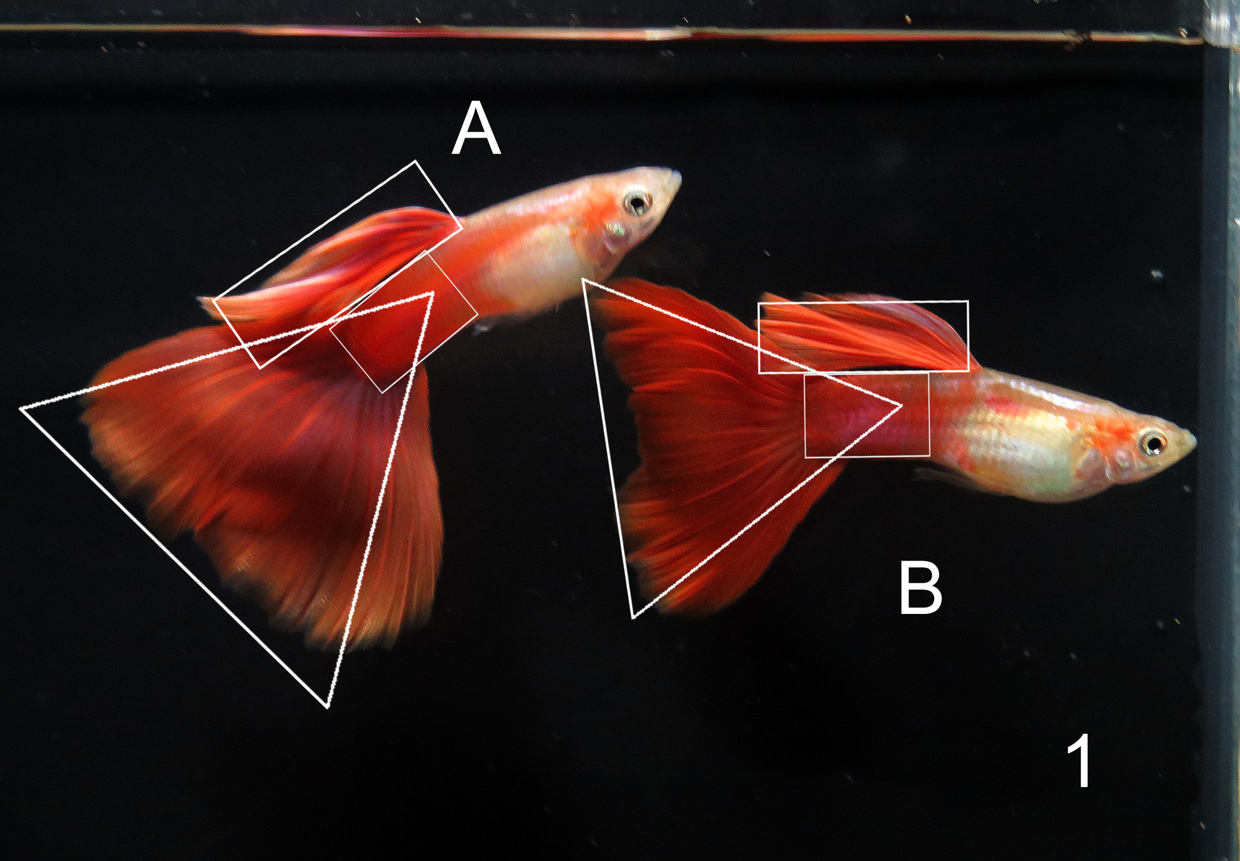 Red guppy tank entry shape judging