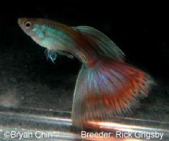 Red bicolor moscow guppy