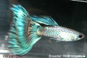 Snakeskin green guppy